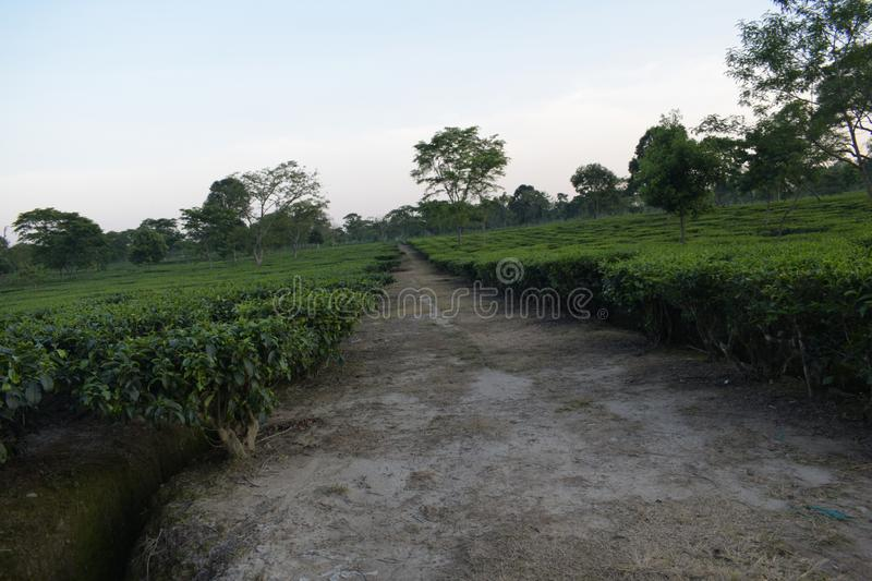 Indian Tea garden of eastern region. This garden is captured at eastern region of India. This place is beautiful royalty free stock images