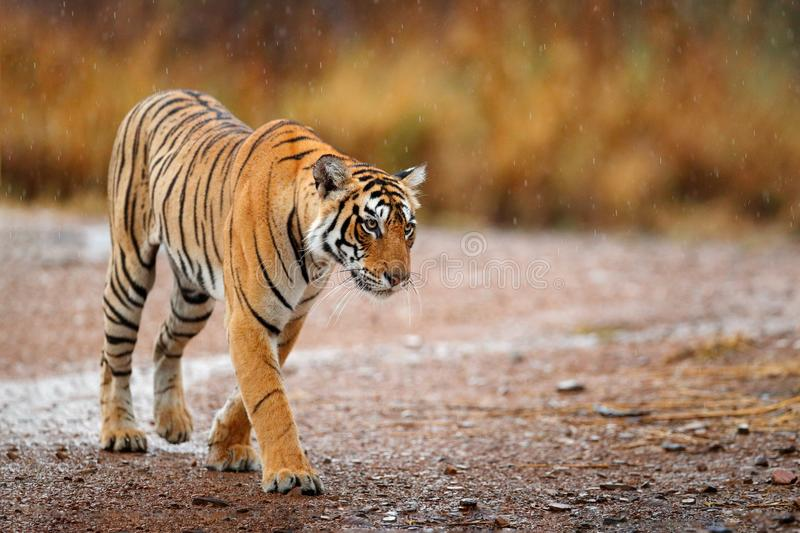 Indian tiger with first rain, wild animal in the nature habitat, Ranthambore, India. Big cat, endangered animal. End of dry season royalty free stock photo