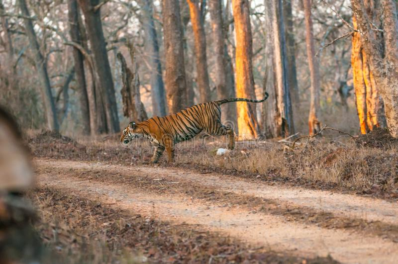 Indian tiger jumping stock photography