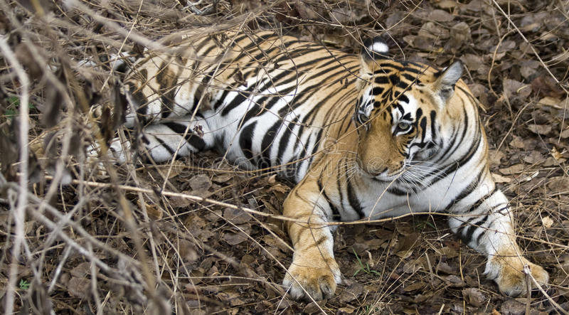 Indian Tiger in Jungle royalty free stock photos