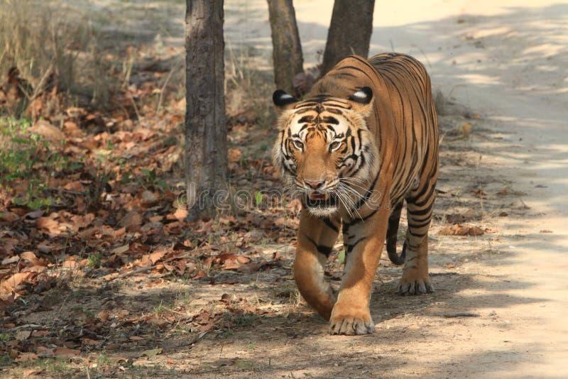Indian Tiger in the National Park Bandhavgarh. An Indian Tiger in the National Park Bandhavgarh India royalty free stock photos