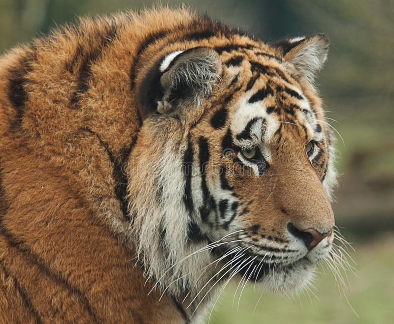 Indian tiger portrait. Portrait of an Indian tiger stock photo