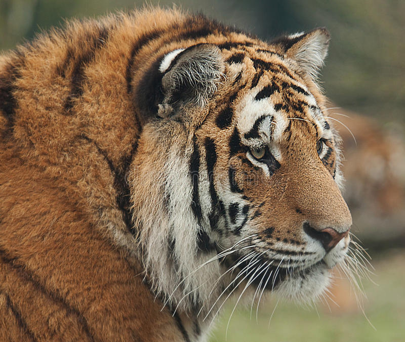 Indian tiger portrait. Photo portrait of an India tiger stock images
