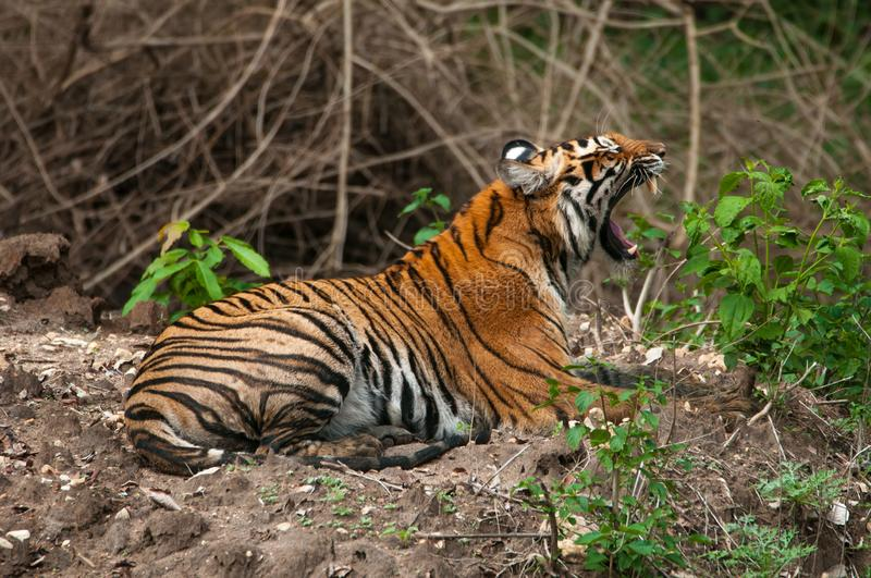 Indian tiger roaring royalty free stock photography