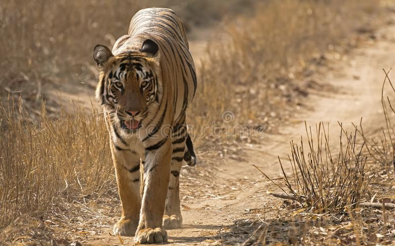 Indian Tiger Walking in forest stock photo