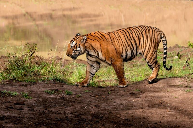 Indian tiger walking stock image