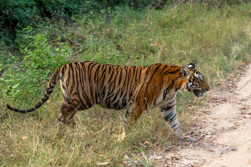 Indian tiger walking royalty free stock images
