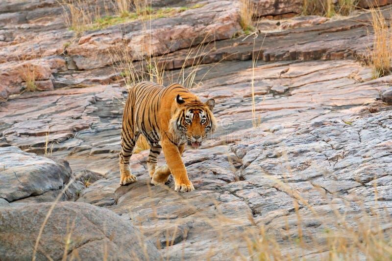 Indian tiger, wild danger animal in nature habitat, Ranthambore, India. Big cat, endangered mammal, nice fur coat. End of dry seas. On stock photo