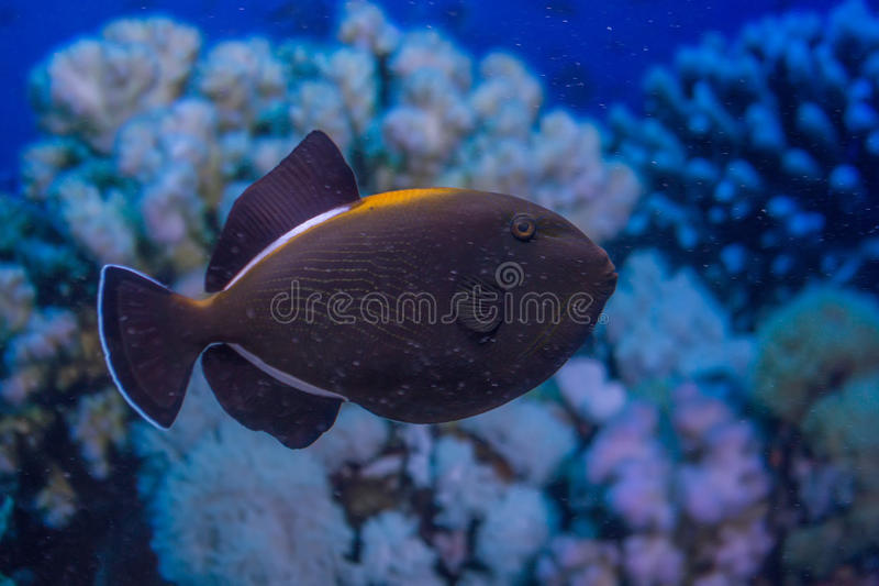 Indian triggerfish or Melichthys indicus. In marine aquarium stock images