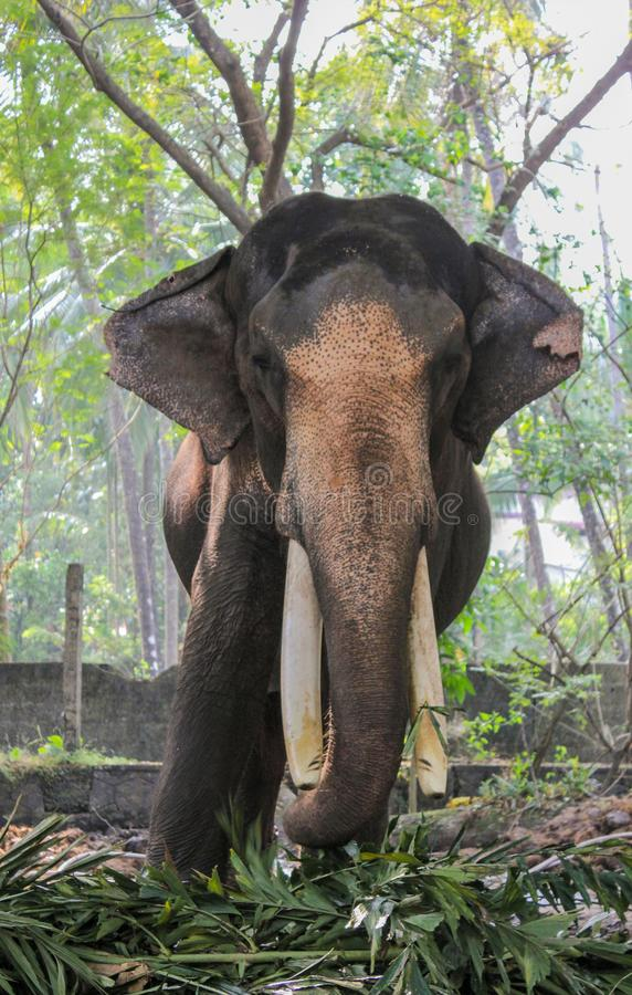 Indian tusker portrait while eating royalty free stock photo
