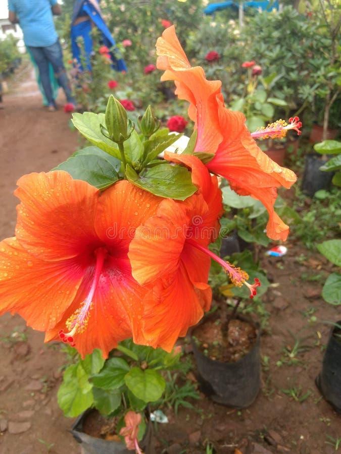 Indian village life garden beautiful flowers. Indian village life garden beautiful f royalty free stock photos