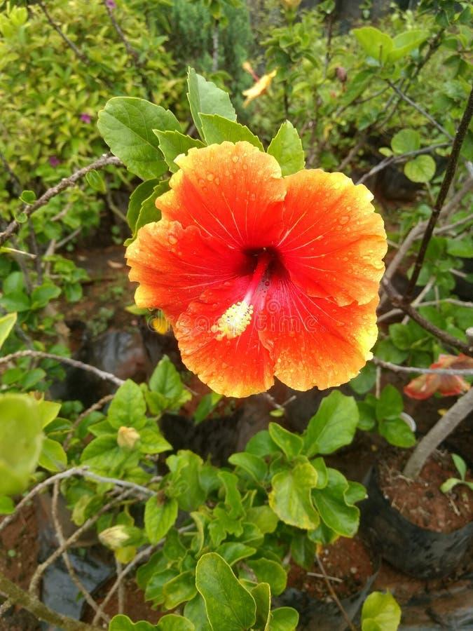 Indian village life garden beautiful flowers. Indian village life garden beautiful f royalty free stock images