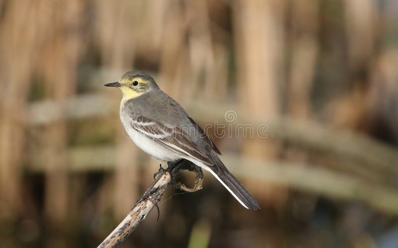 Indian wagtail. Bird watching. standing on bough in natural place. very natural view of bird. bird colour is so beautiful royalty free stock images