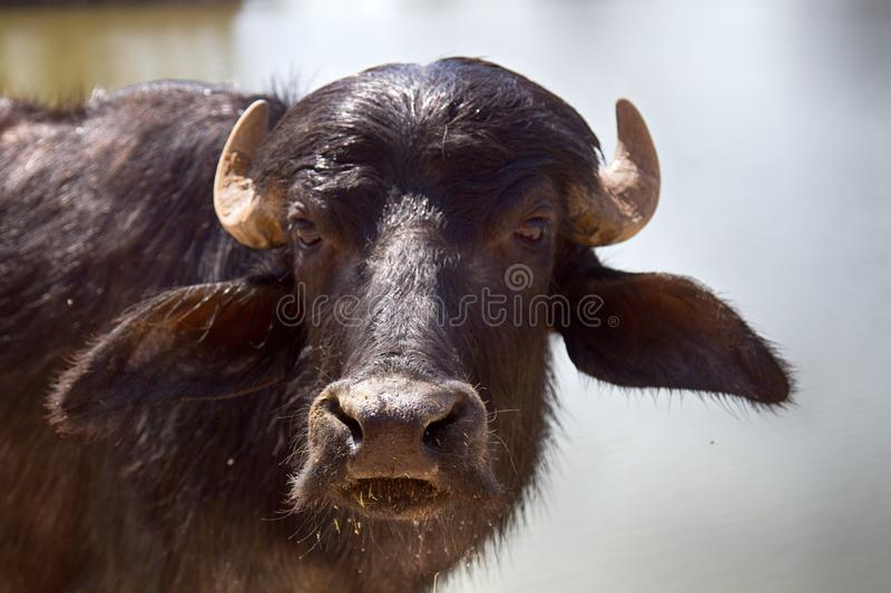 Indian Buffalo Stock Images - Download 1,782 Royalty Free Photos