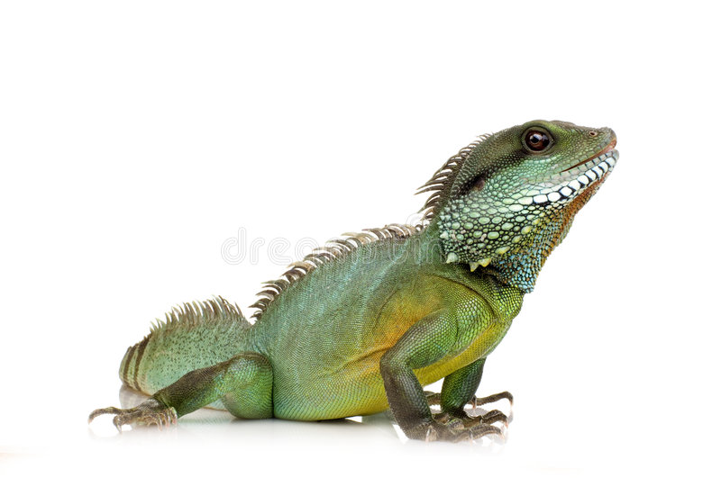 Download Indian Water Dragon - Physignathus Cocincinus Stock Photo - Image: 3685796