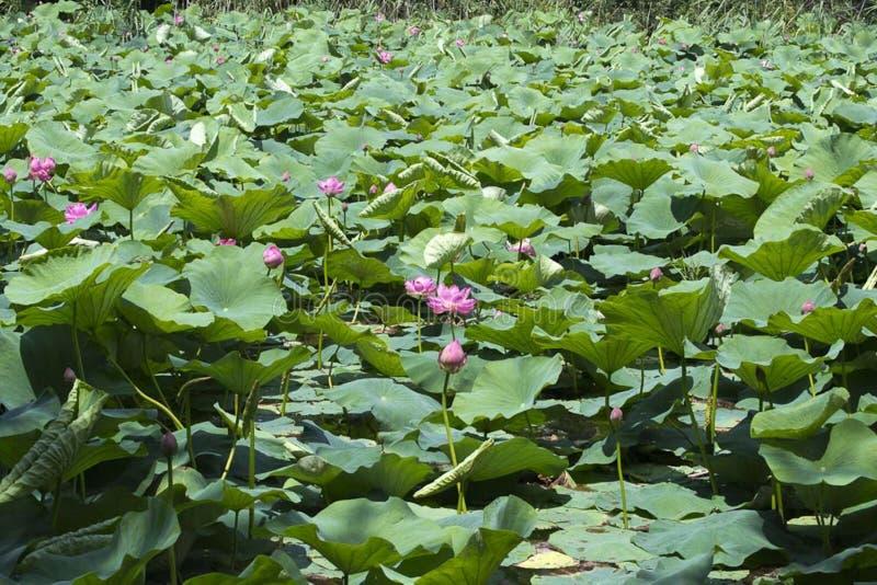 Indian water lilies stock photos