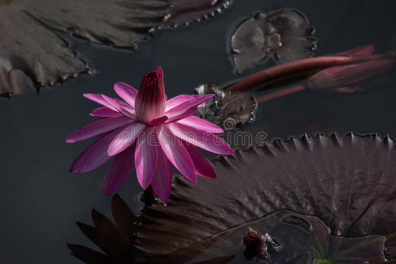 Indian Water Lily stock image