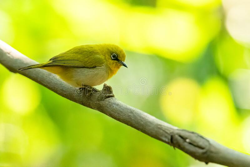 Indian White-eye perching on liana with blur green tree background. Chaiyaphum, Thailand stock images
