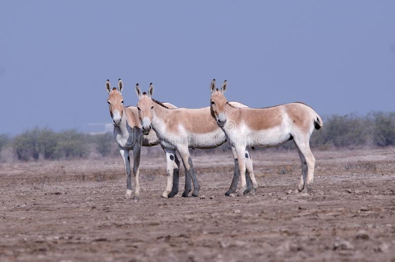 Indian wild ass LRK gujarat. Indian wild ass couple stock image