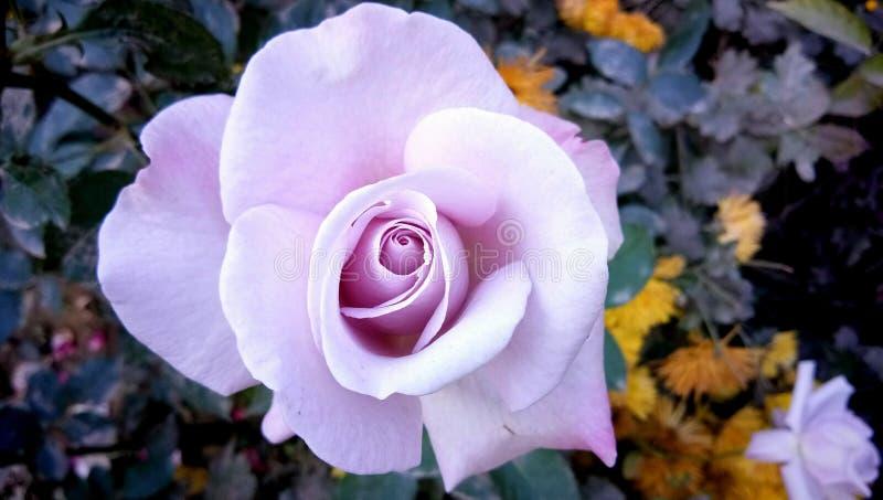 Indian Wild White Rose Flower Plant stock photo