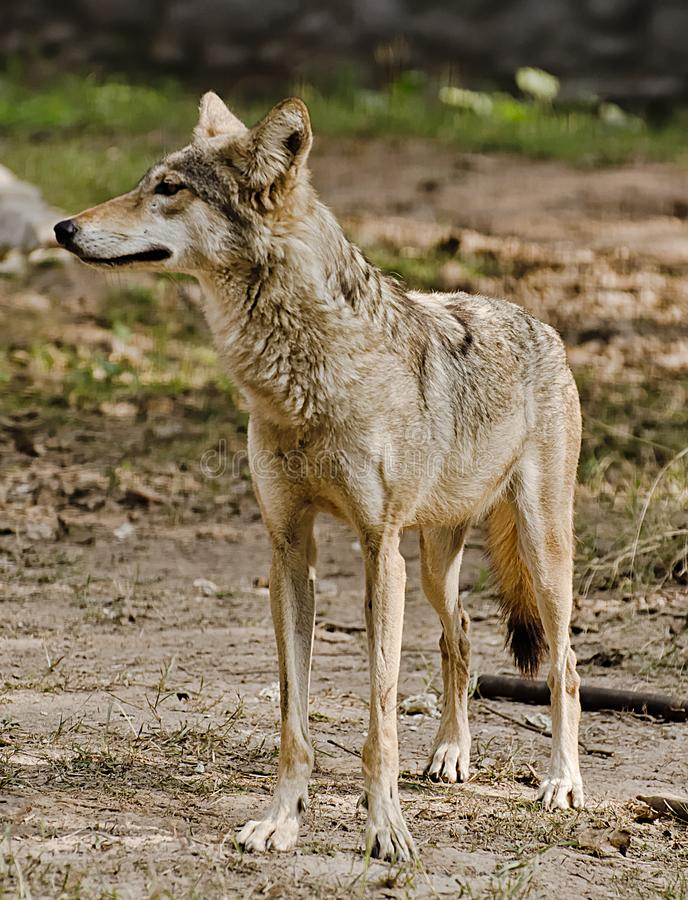 An Indian wolf. Staring at people at a zoo royalty free stock image