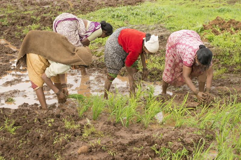 Indian women planting rice saplings near Varandhaghat, Pune royalty free stock image