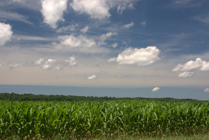 Indiana Corn. Picture of the sky and a cornfield taken in Indiana, Parke County, in July stock images