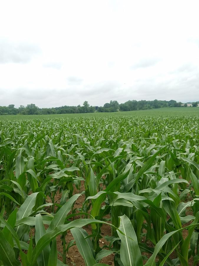 Indiana. Corn, field, rain, growth royalty free stock photos