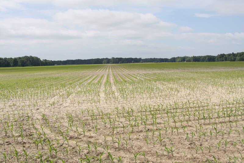 Indiana Corn 2019 arkivfoton