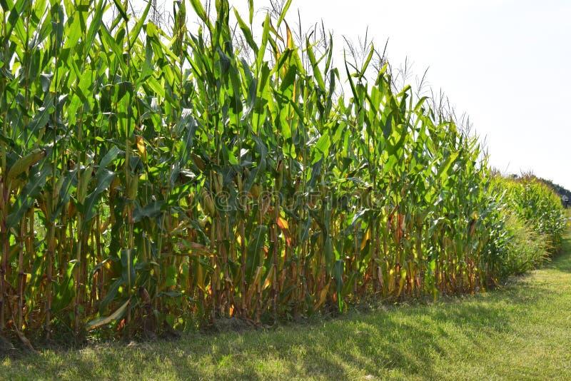 Indiana Cornfield stockfoto