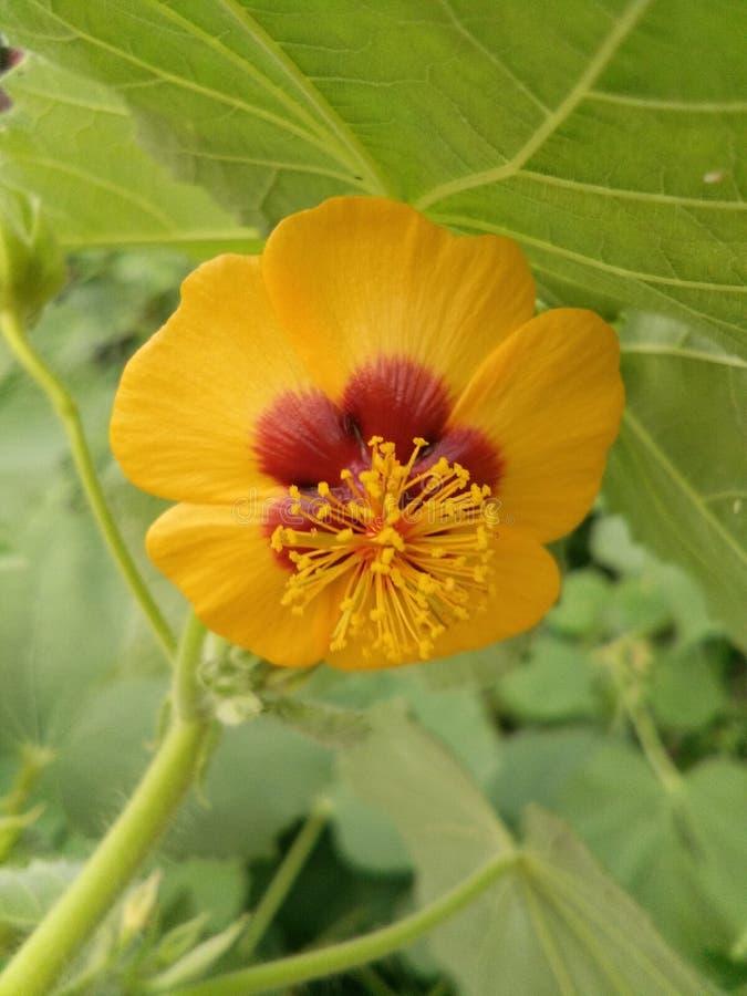 Indiana kwiat zdjęcia royalty free