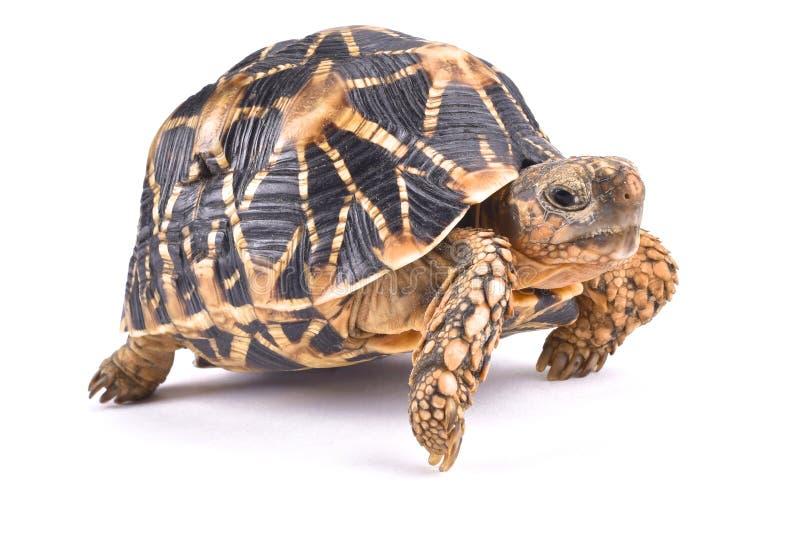 Indianina Gwiazdowy tortoise, Geochelone elegans fotografia stock