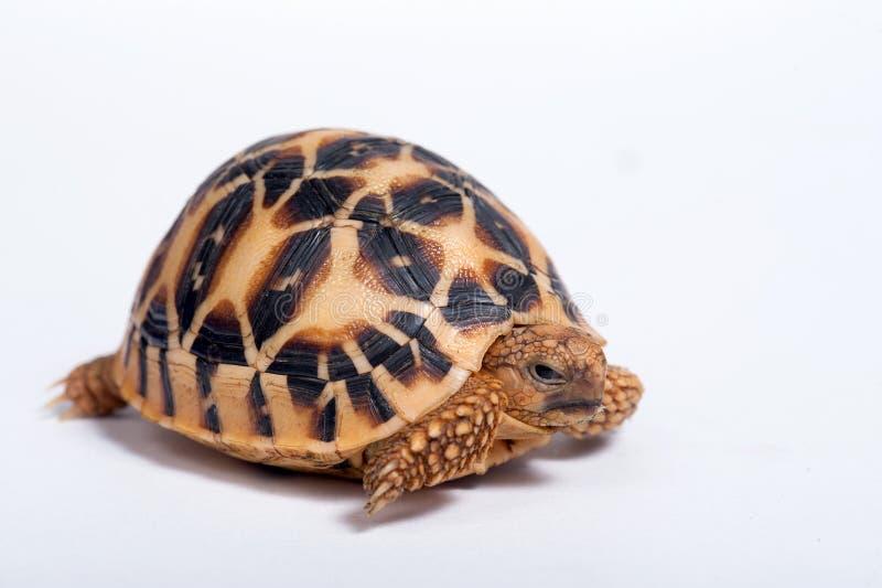 Indianina Gwiazdowy Tortoise odizolowywający na bielu plecy (Geochelone elegans) zdjęcia royalty free