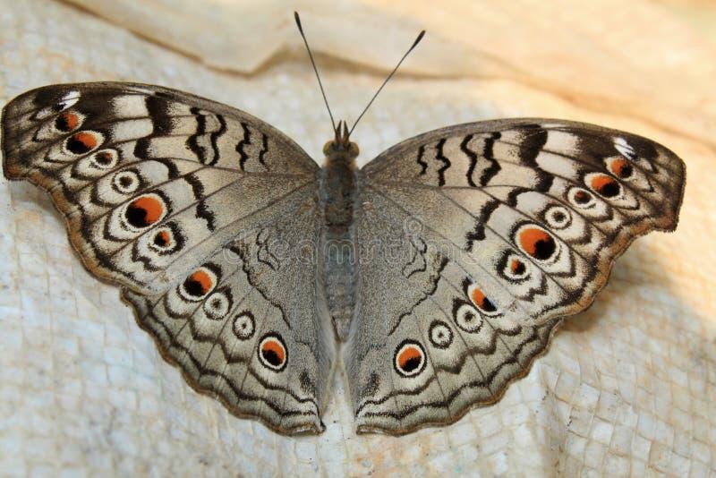 Indianina Junonia atlites siwieją pansy motyla zbliżenie zdjęcia royalty free