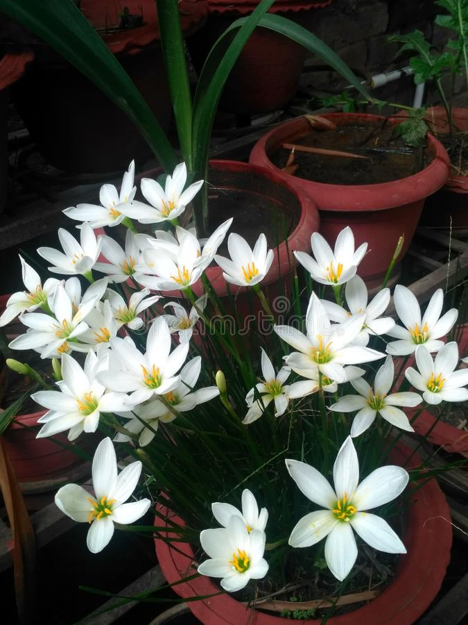 Indiano branco flower123 da natureza bonita fotos de stock royalty free