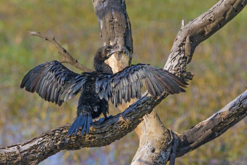 Indiano Cormorant fotografia stock