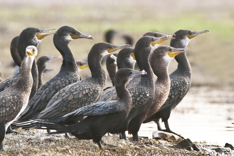 Indiano Cormorant immagine stock libera da diritti