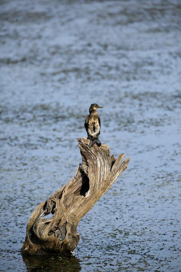 Indiano Cormorant nel parco nazionale di Ranthambore fotografie stock libere da diritti