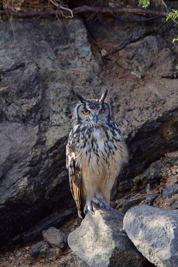 Indiano Eagle Owl, bengalensis do bubão, Hampi, Karnataka fotografia de stock royalty free