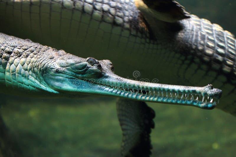 Indiano gharial foto de stock