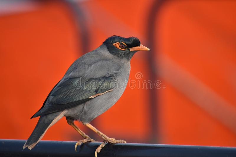 Indiano Myna fotos de stock
