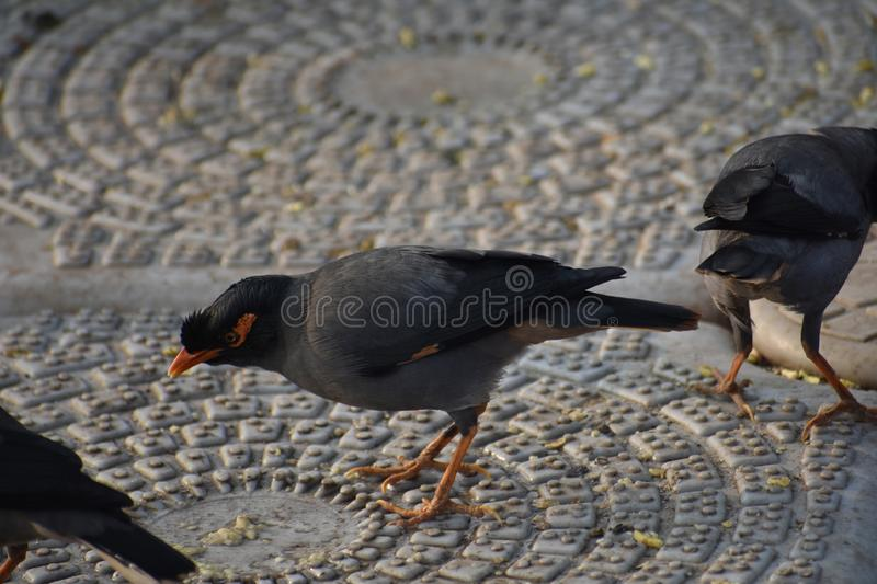 Indiano Myna foto de stock royalty free