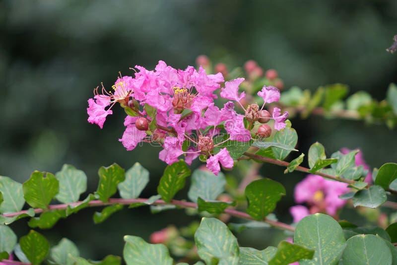 Indica άνθιση λουλουδιών Lagerstroemia στοκ εικόνες με δικαίωμα ελεύθερης χρήσης