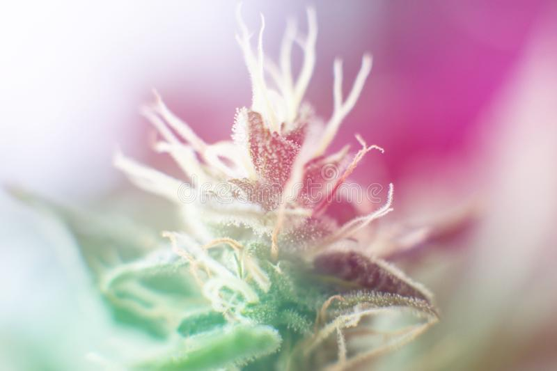 Indica και Sativa ιατρικός οφθαλμός καννάβεων πανεπιστημίων ιατρική μαριχουάνα cbd thc Έννοιες το ζιζάνιο χορταριών στοκ φωτογραφίες με δικαίωμα ελεύθερης χρήσης