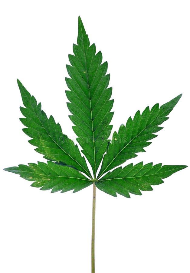 Indica de installatieblad van de cannabis royalty-vrije stock foto's