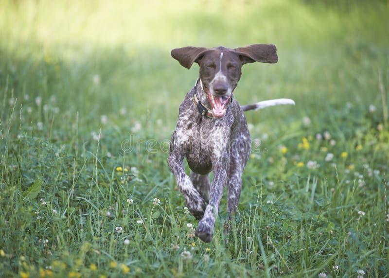 Indicateur aux cheveux courts allemand - chien de chasseur photo stock
