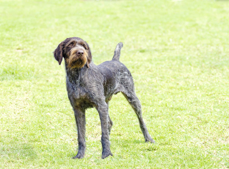 Indicateur Wirehaired allemand images stock