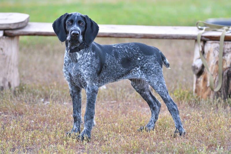 Indicateur Wirehaired allemand de race de chien de chasse photographie stock libre de droits
