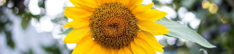 Indicatore di chiusura di girasole, girasole di girasole, fiore dell'estate in campo, sfondo di girasole con spazio di copia immagini stock