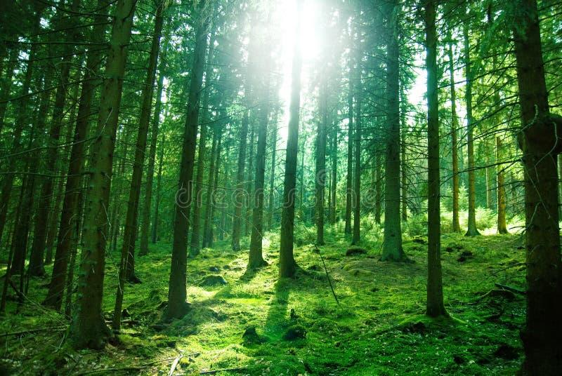 Indicatore luminoso di Sun nella foresta fotografie stock libere da diritti